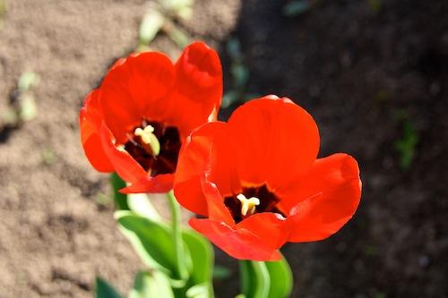 Červený mak